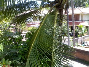 Cocunut leaves Pulled down by BSNL